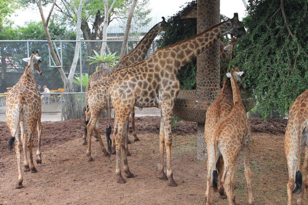 жирафы едят
