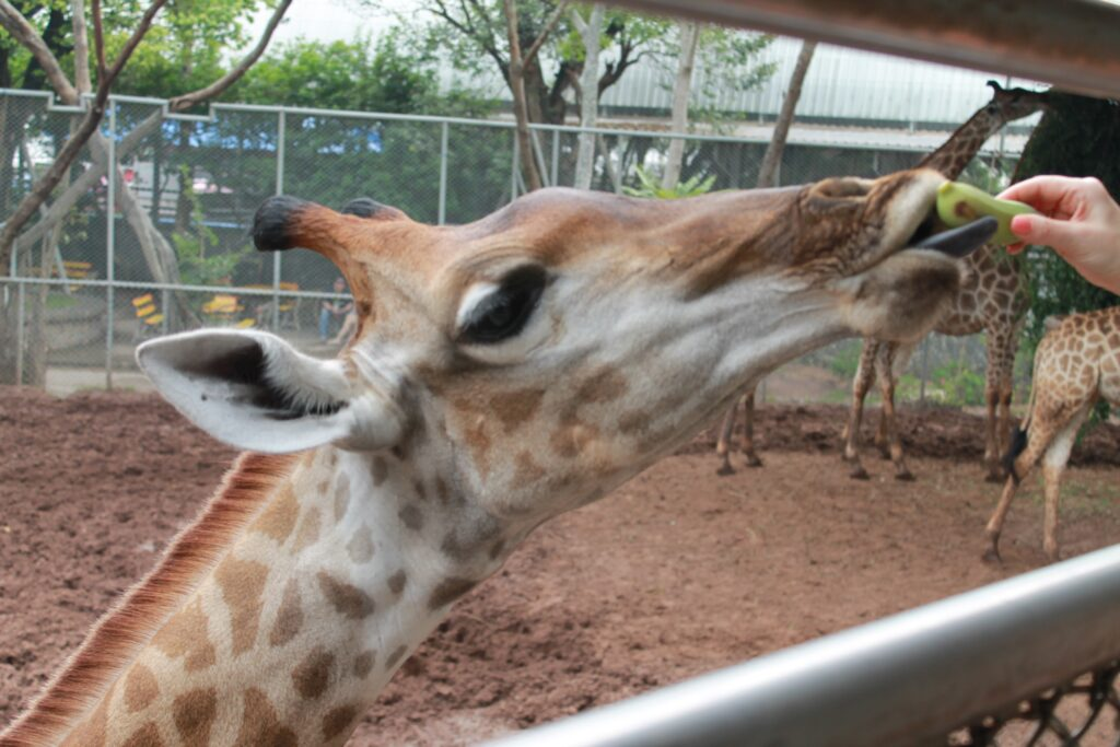 жираф ест