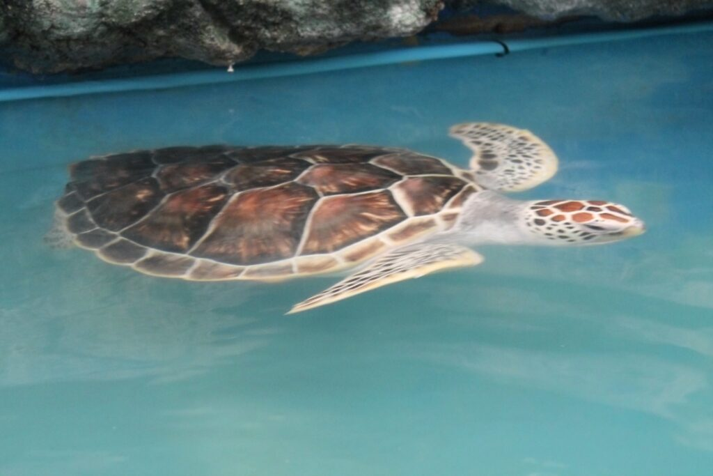черепаха плавает